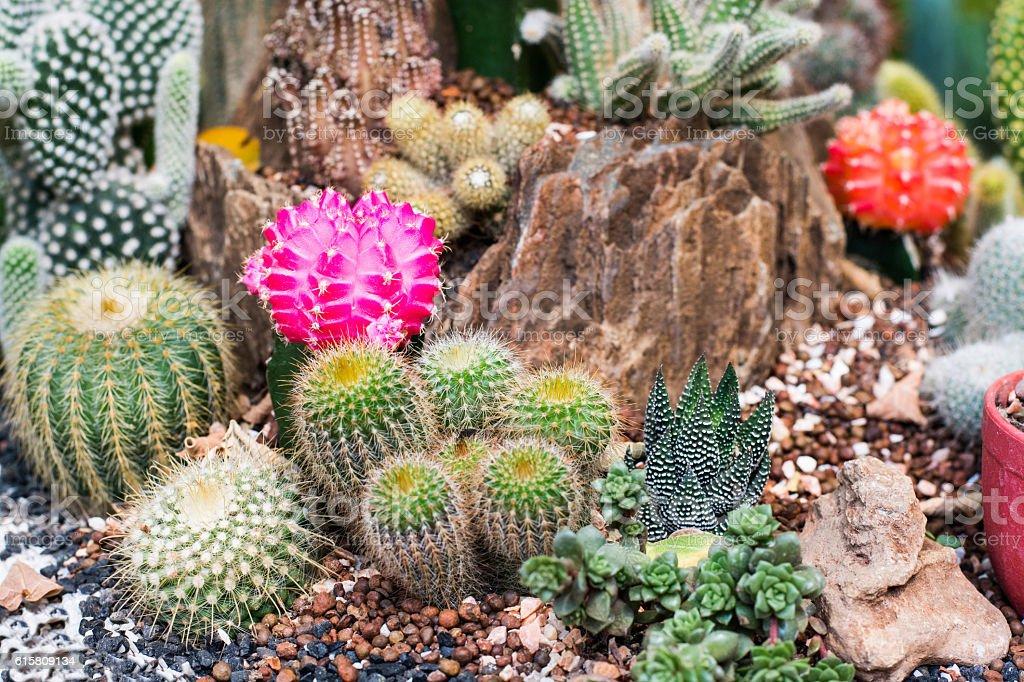 The beauty Garden cactus stock photo