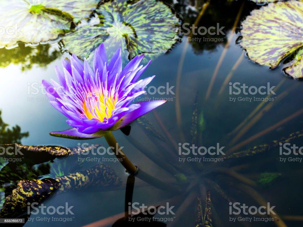 The beauty of morning lotus stock photo