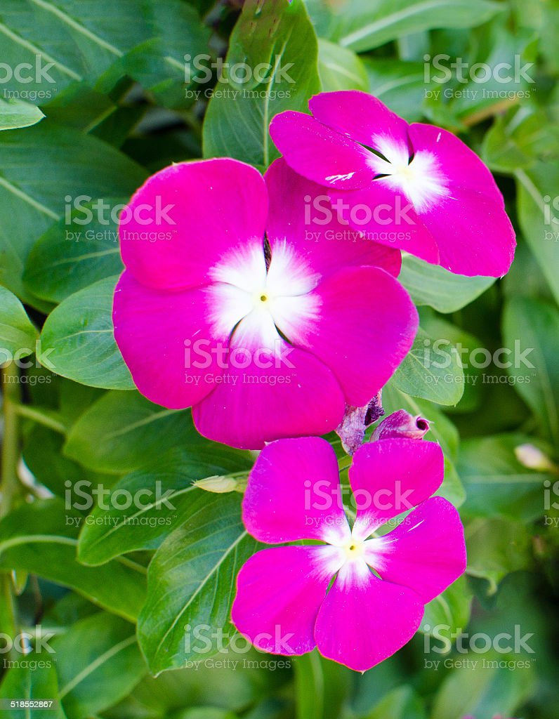 The beauty pink Vinca flower on green nature background stock photo