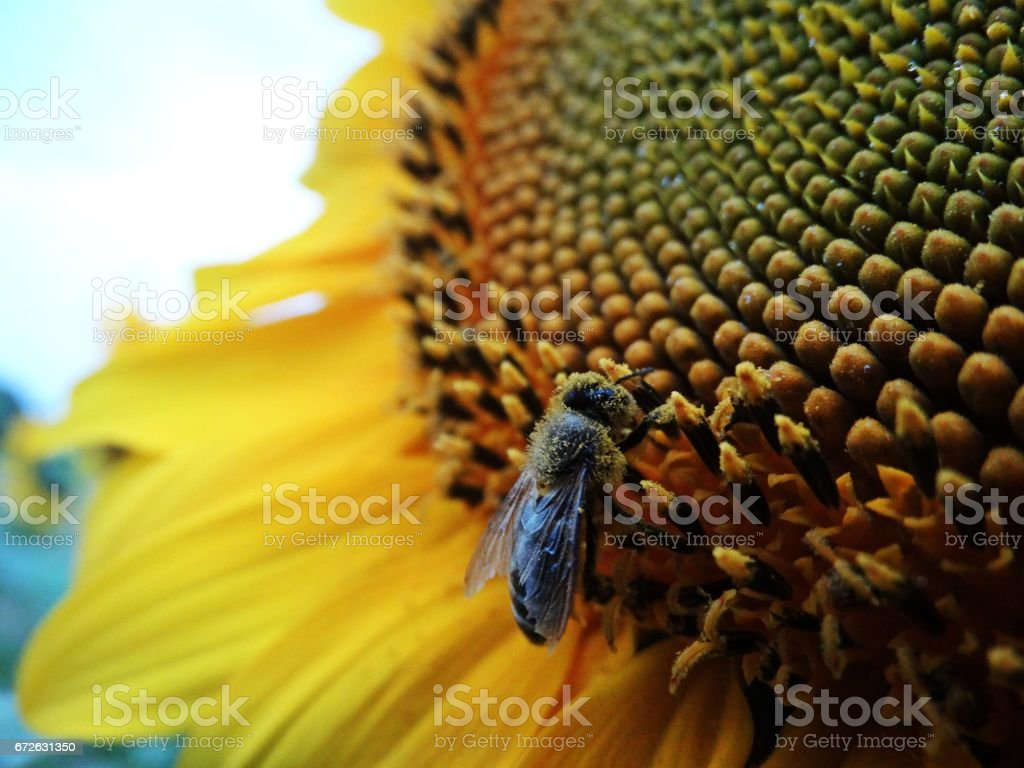 The bee and the Sunflower stock photo