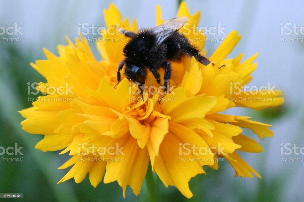 the bee royalty-free stock photo