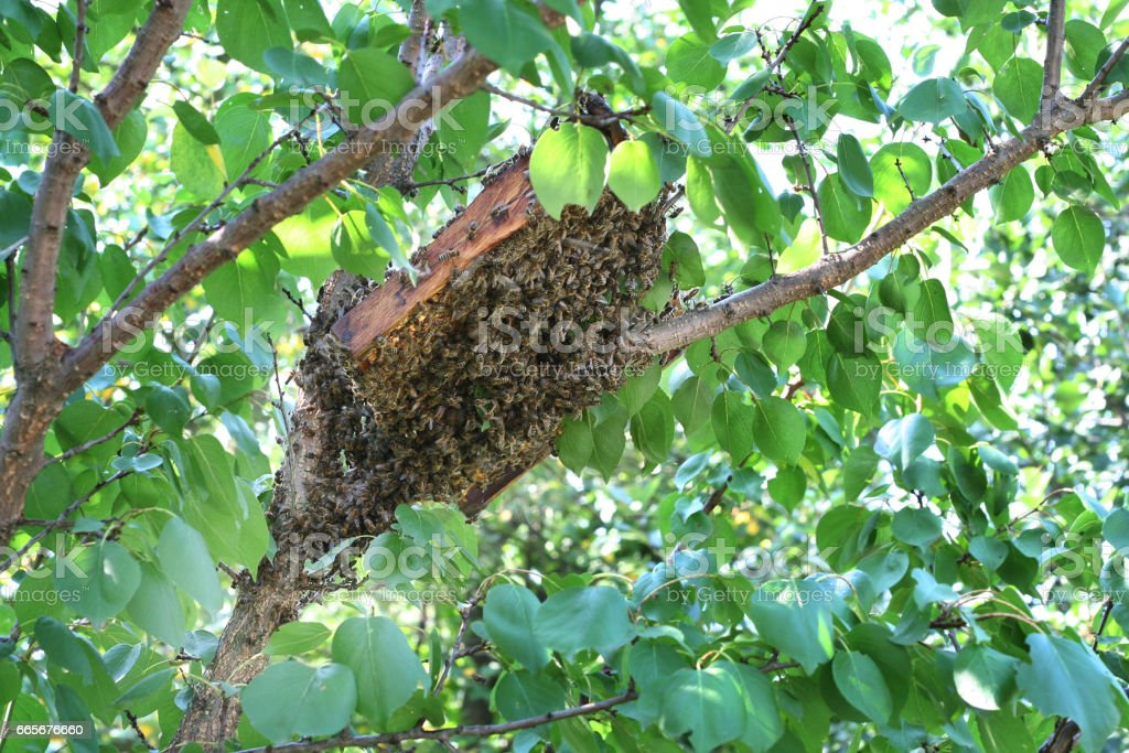 The bee swarm flew out of the bee nest on a tree stock photo