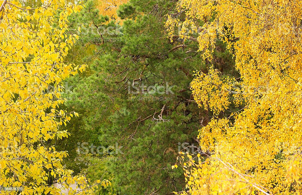 The beginning of autumn. Bright birch and pine trees stock photo
