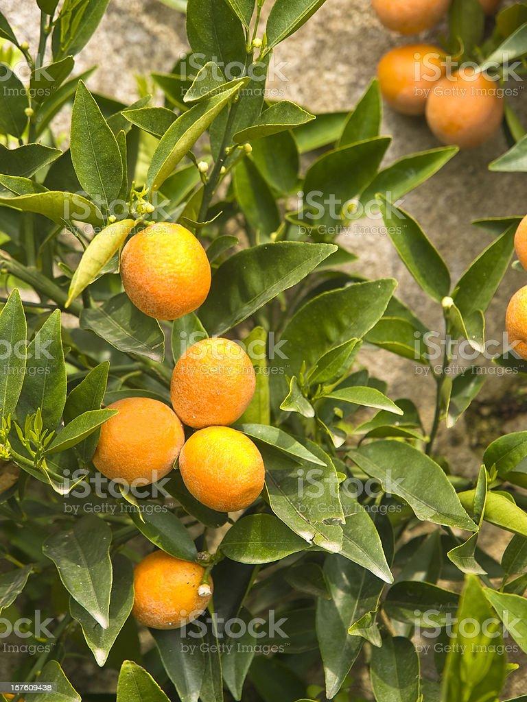 The bergamot fruit with green leaves stock photo