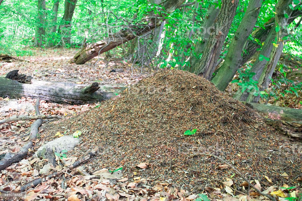 The big ant hill in coniferous wood stock photo