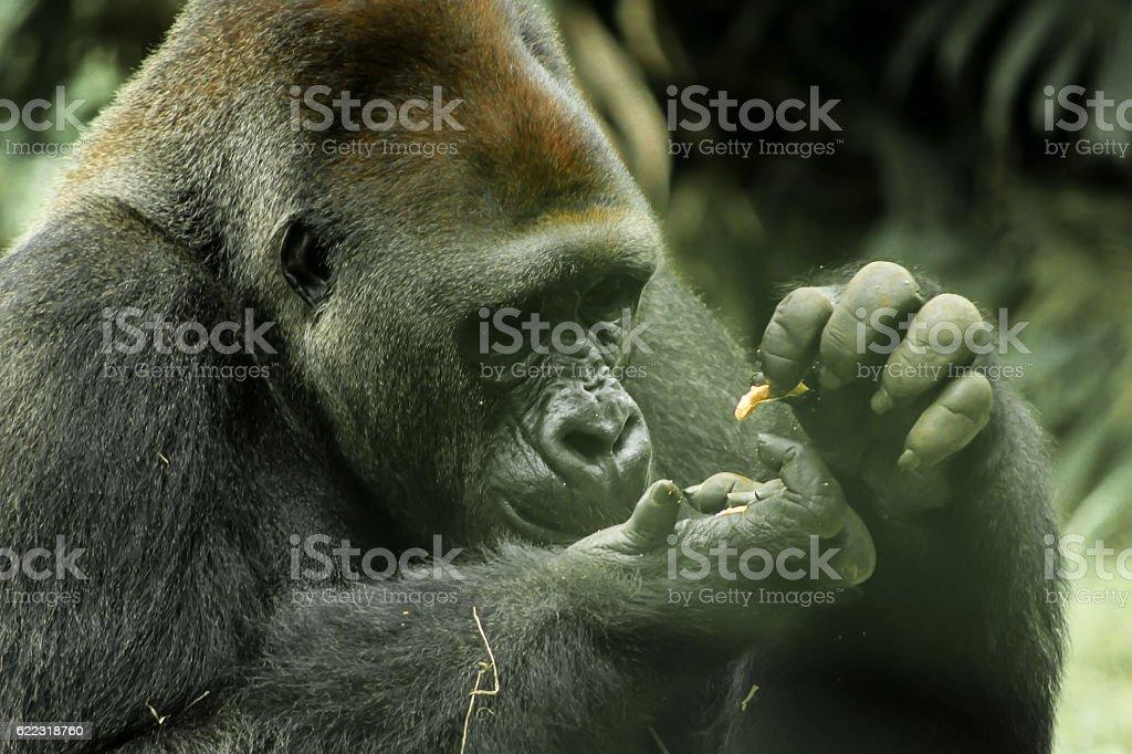 The Big Black Kong Eats Something stock photo