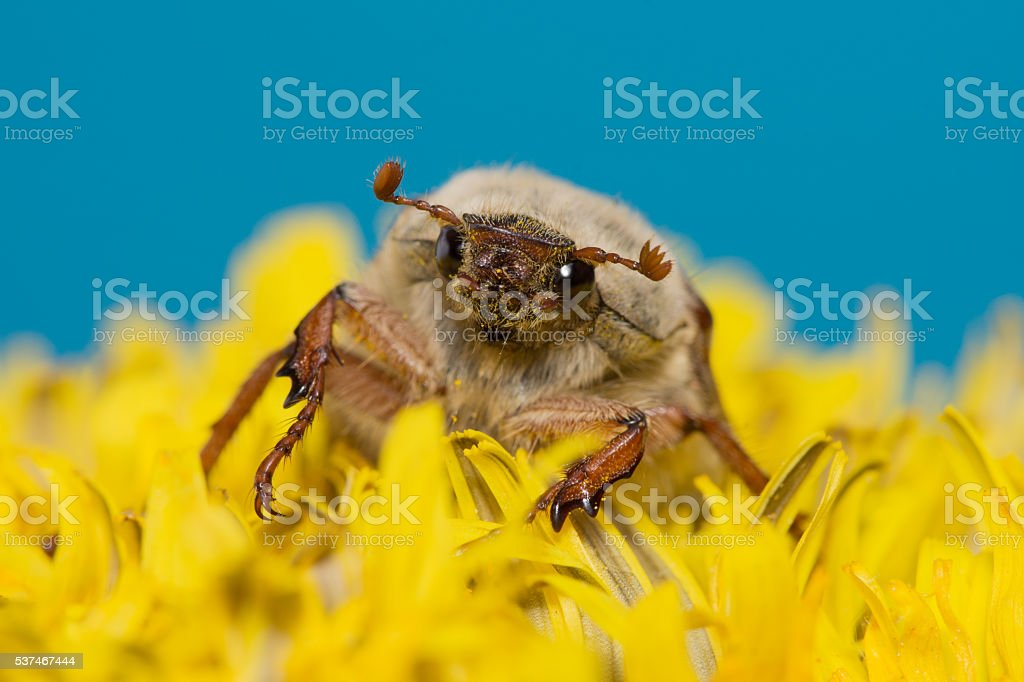 the big Chafer stock photo