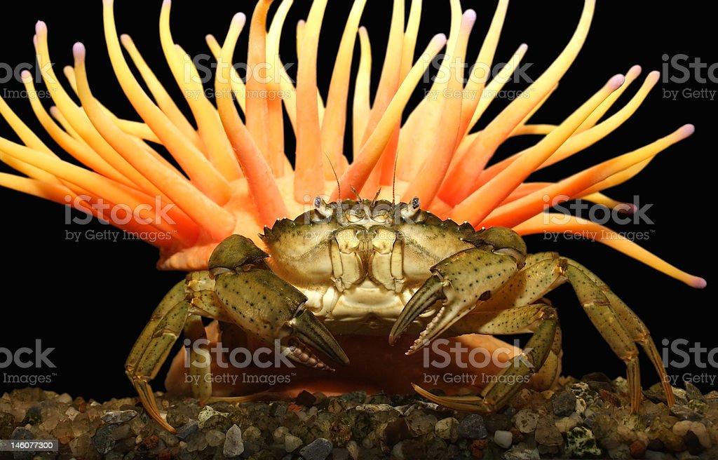 The big crab royalty-free stock photo