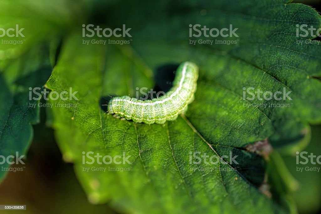 The big green caterpillar on a leaf stock photo
