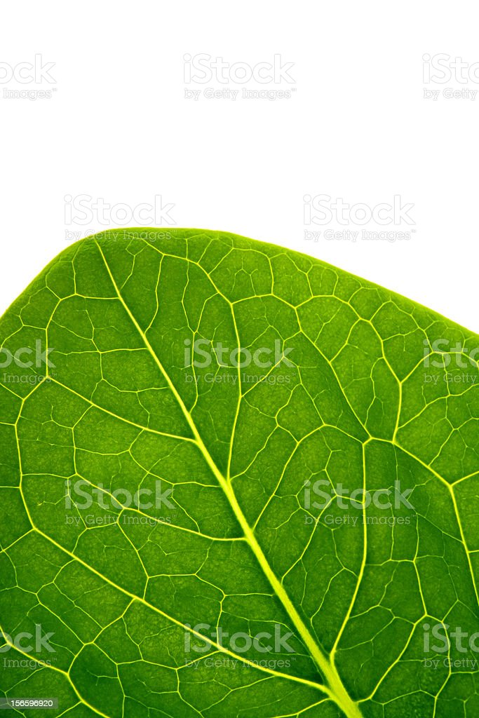 The big green leaf (CLIPPING PATH) royalty-free stock photo