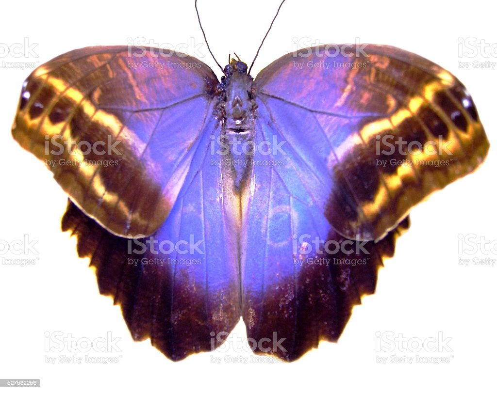 The biggest Brazilian butterfly. stock photo