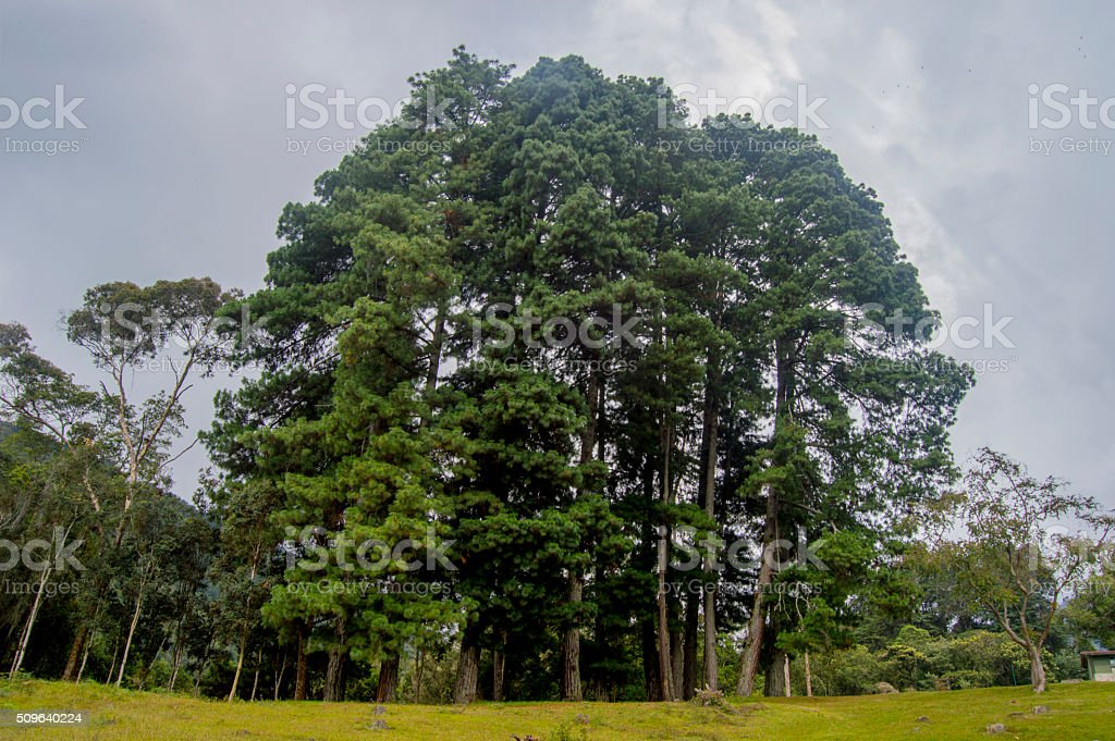 The biggest Pine tree... stock photo