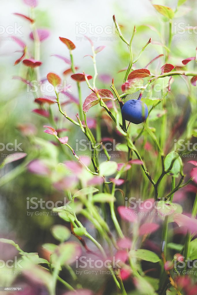 The bilberry royalty-free stock photo