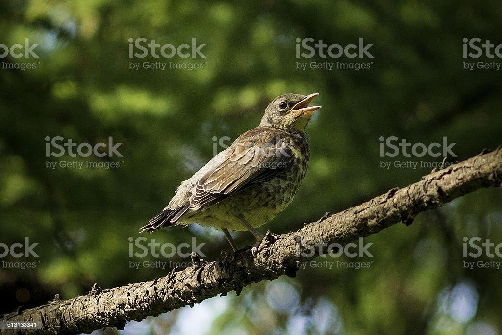 The Bird - Fieldfare stock photo
