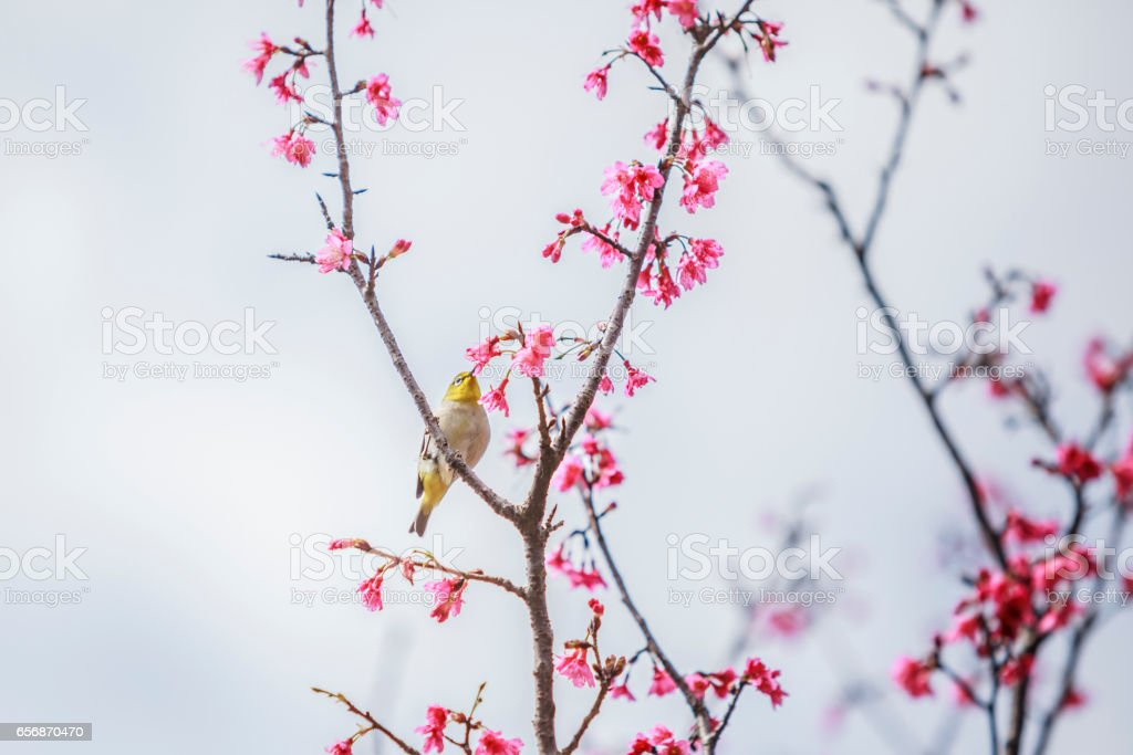 The bird japanese white-eye and Cherry blossoms stock photo