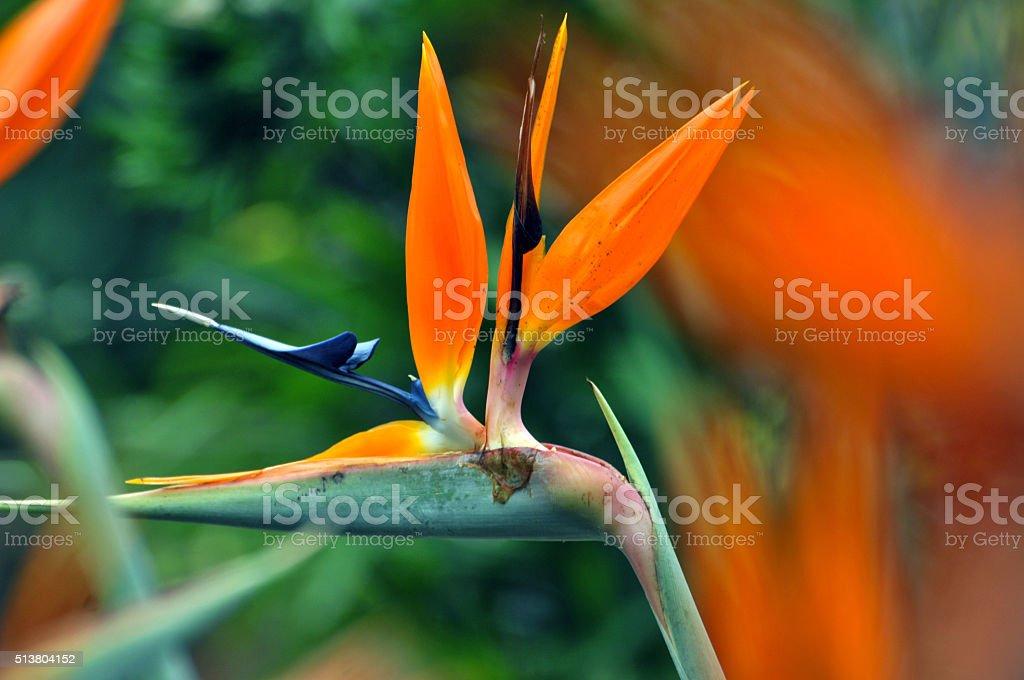 The bird of paradise flower stock photo