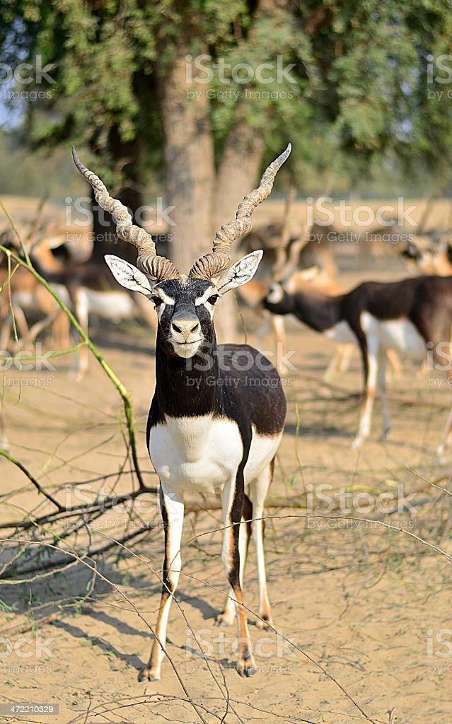 The Black Buck! stock photo