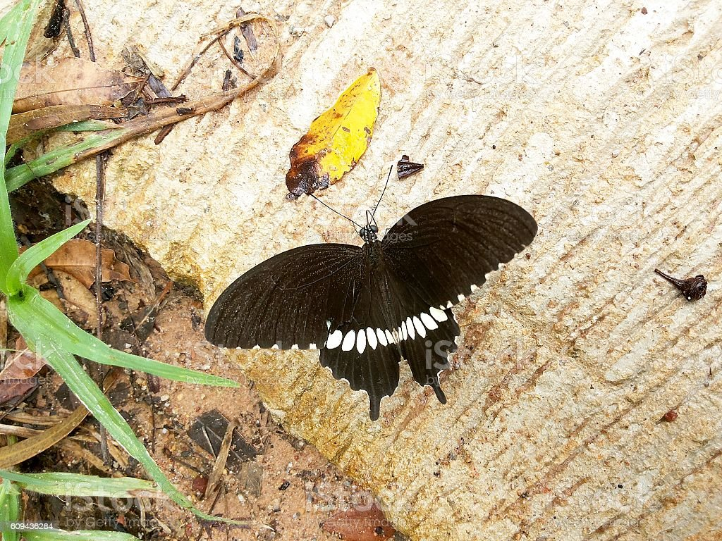 The black butterfly on concrete floor stock photo