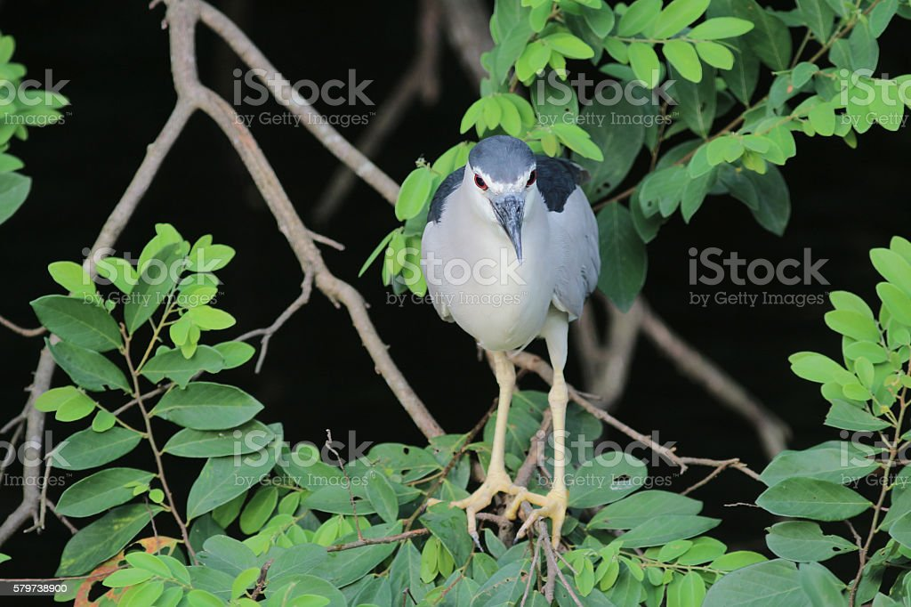 the Black crowned Night Heron stock photo