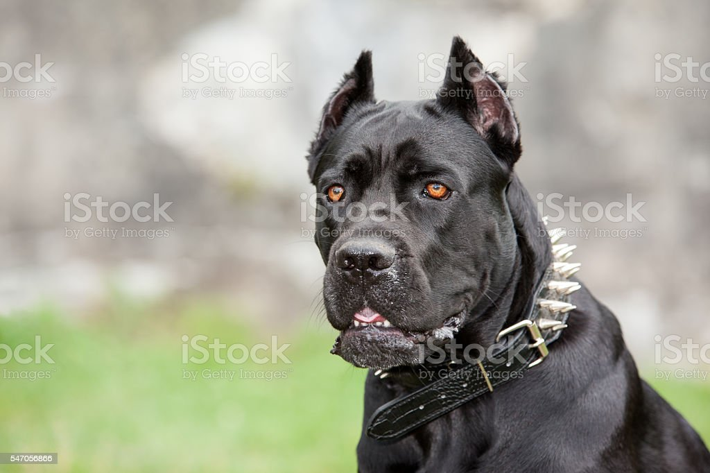 The black dog stock photo