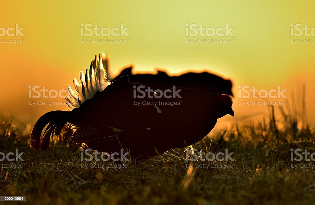 The black grouses stock photo