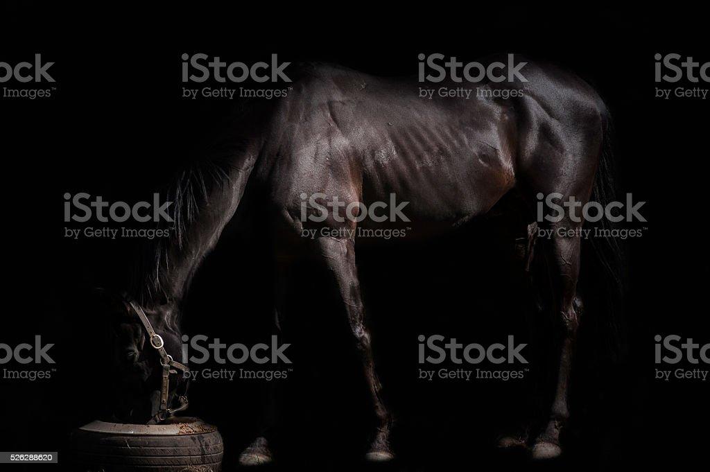 The black horse stock photo