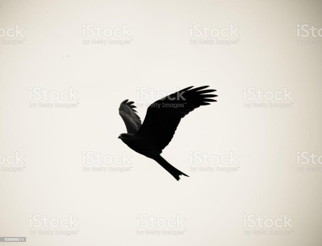 The Black Kite stock photo