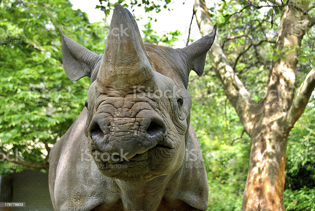 The black rhinoceros royalty-free stock photo