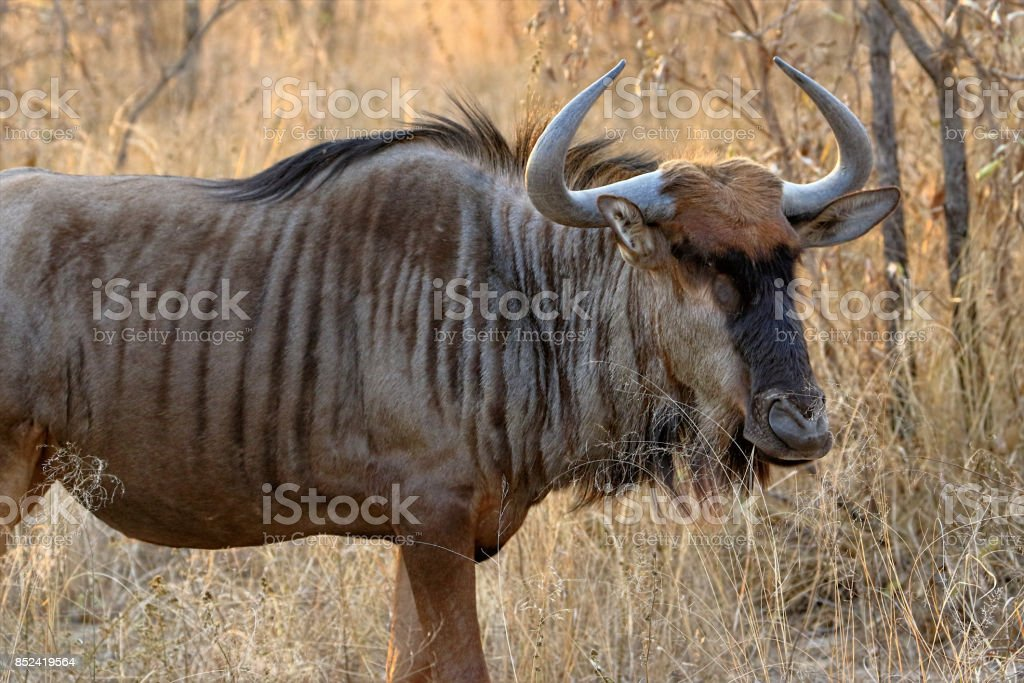 The black wildebeest or white-tailed gnu (Connochaetes gnou), South Africa stock photo
