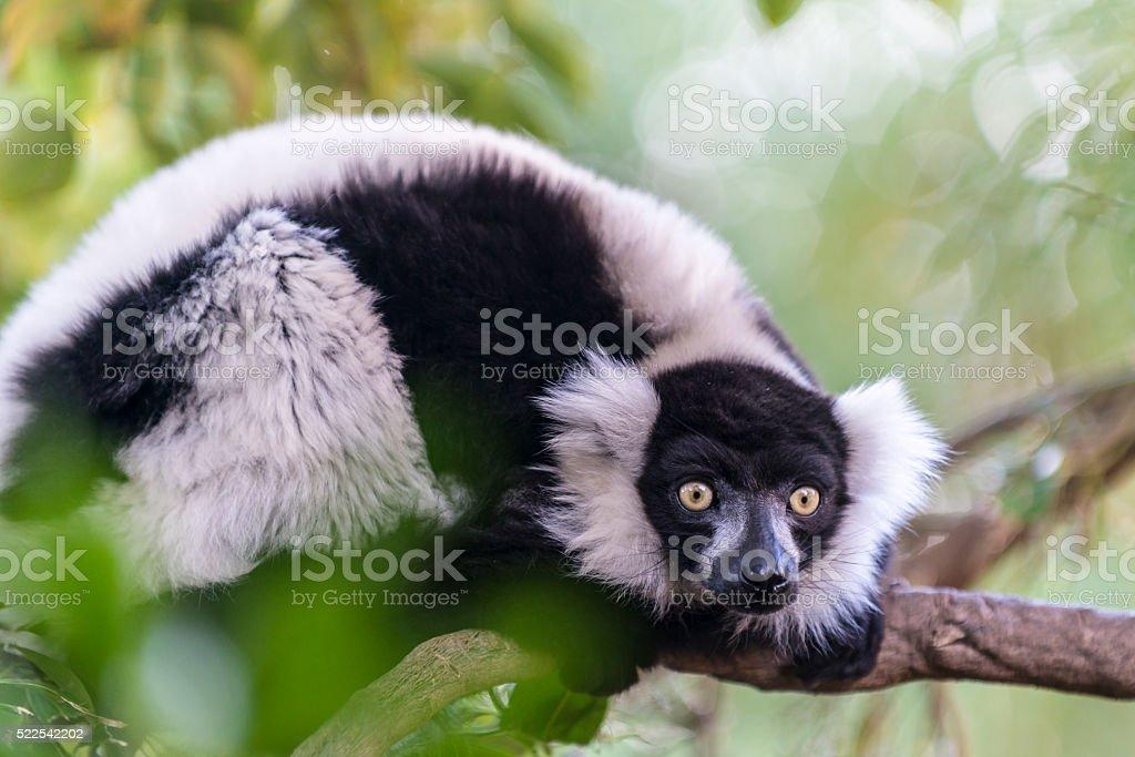 The black-and-white ruffed lemur stock photo