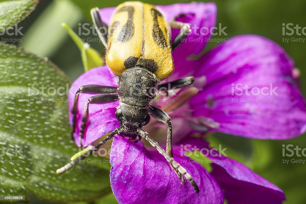 The blackspotted pliers support beetle (Rhagium mordax) royalty-free stock photo