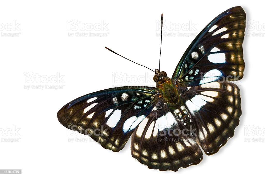 The Blackvein Sergeant butterfly royalty-free stock photo