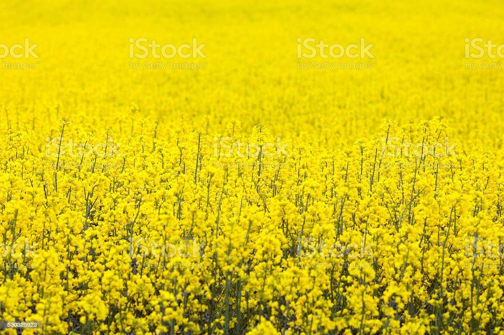The blossom field of rape stock photo