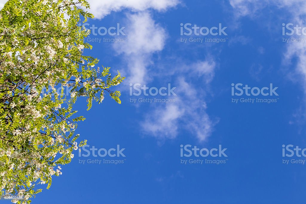 The blossoming acacia branches against the background of the blu stock photo
