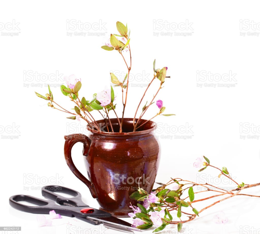 The blossoming Labrador tea branches with pink colors in a ceramic pot stock photo