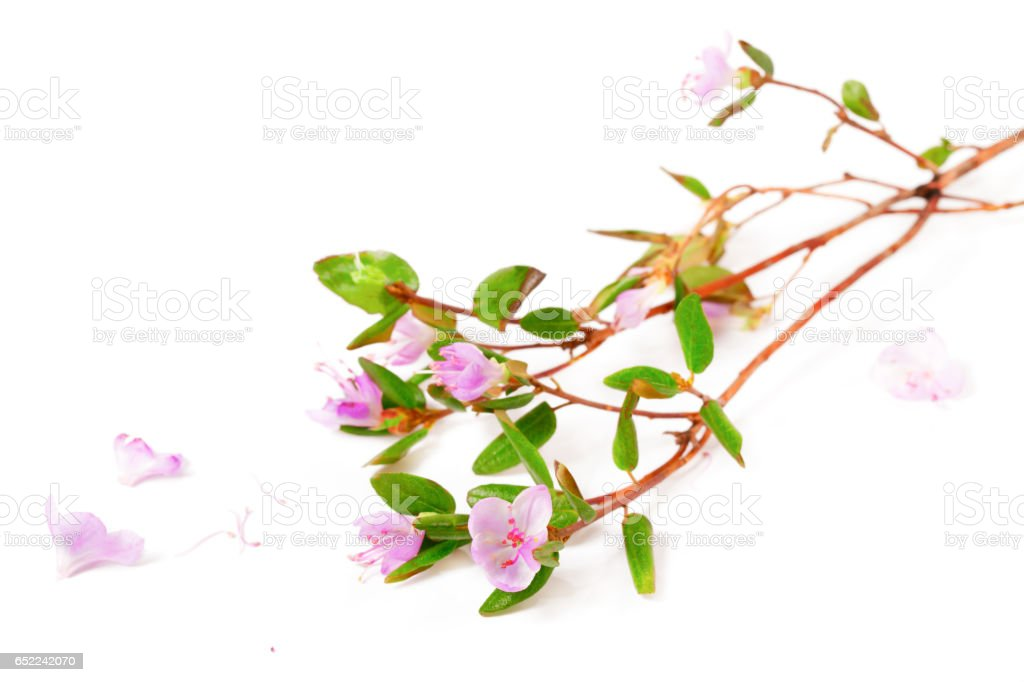 The blossoming Labrador tea branches with pink colors stock photo