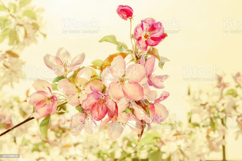 the blossoming Oriental cherry branches against the background of green leaves stock photo