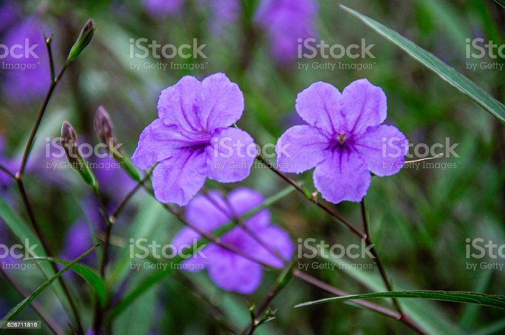 The blossoming ruellia brittoniana flowers closeup stock photo