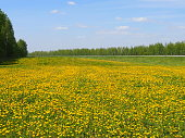 The blossoming yellow field of dandelions