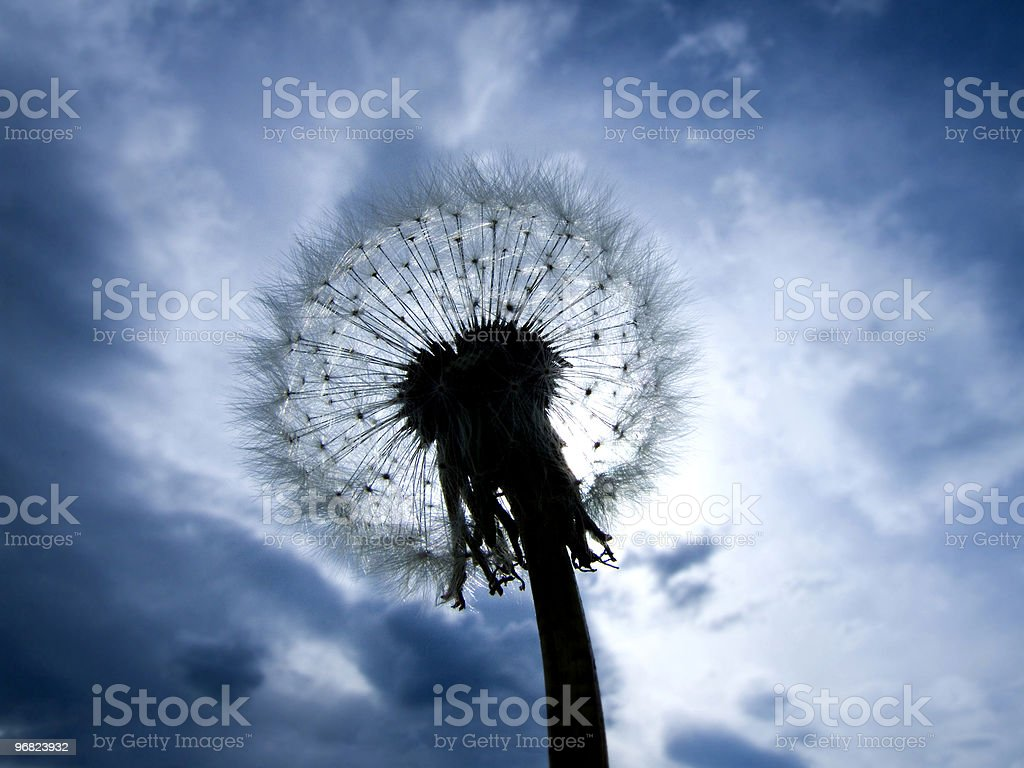 The blowball royalty-free stock photo