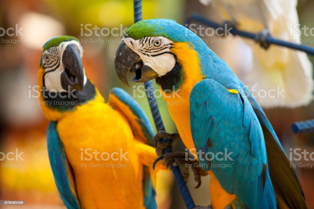 The blue and yellow macaw, is a large South American parrot with blue top parts and yellow under parts. stock photo