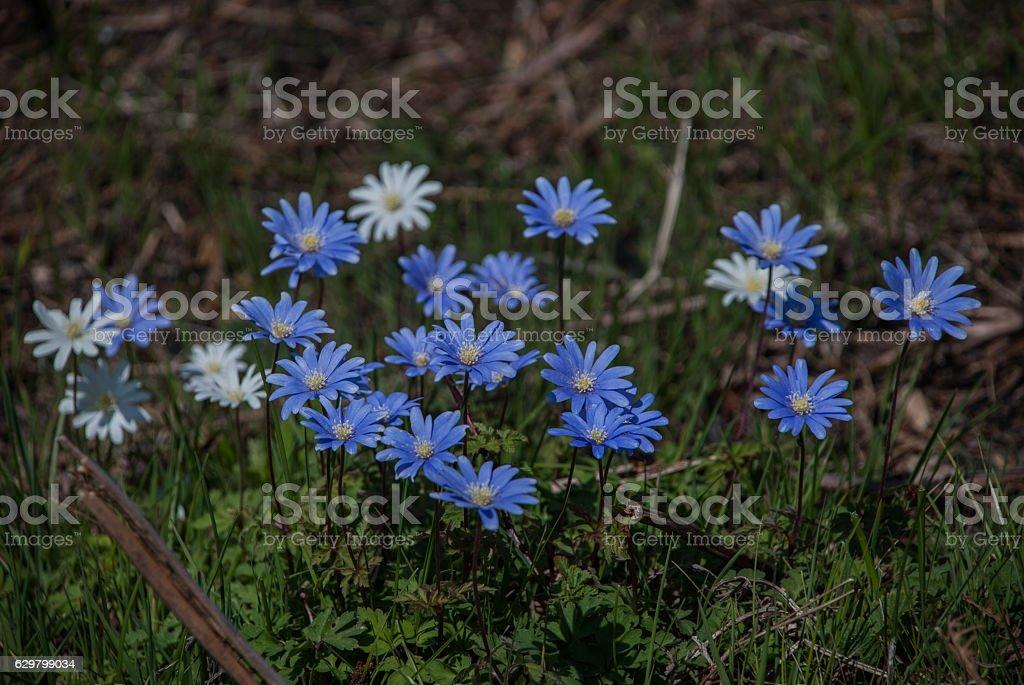 The blue Apennine anemone stock photo