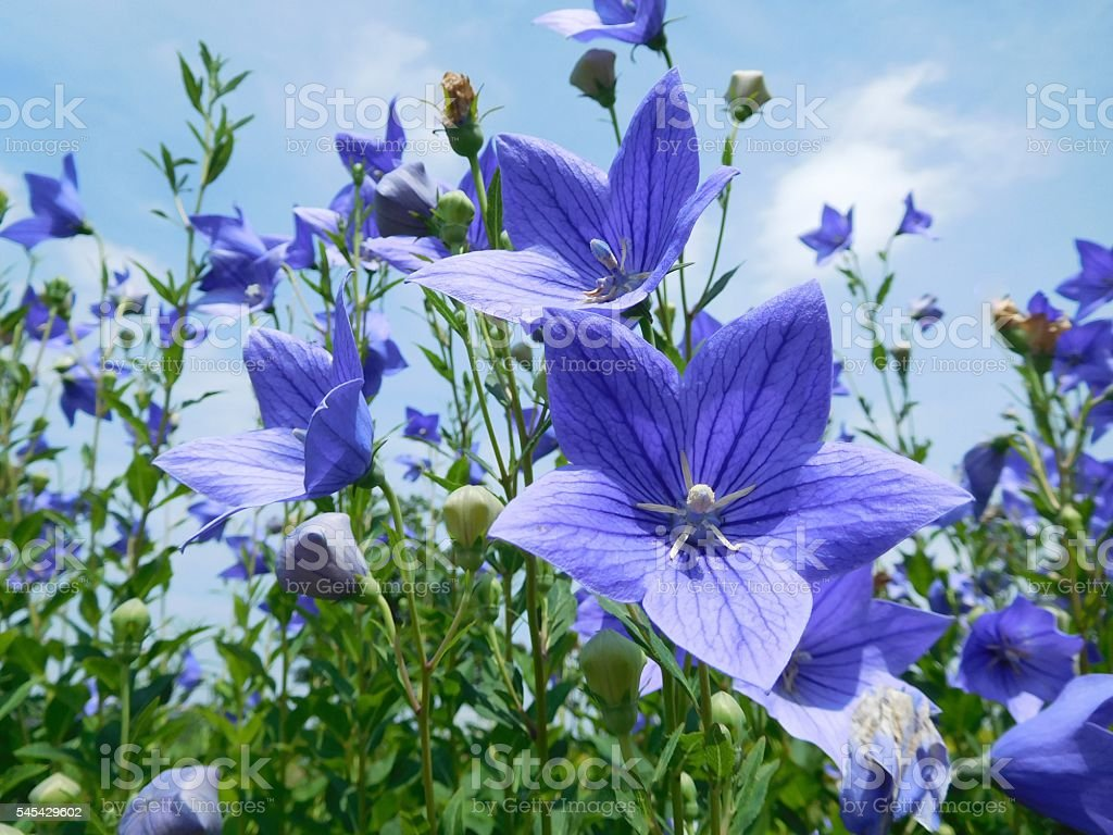 The blue flowers of Japanese bellflower under the blue sky stock photo