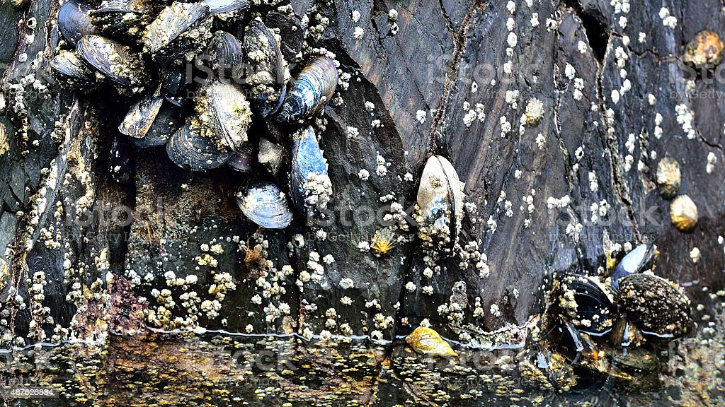 The Blue Mussel - Garinish Island / Ireland stock photo
