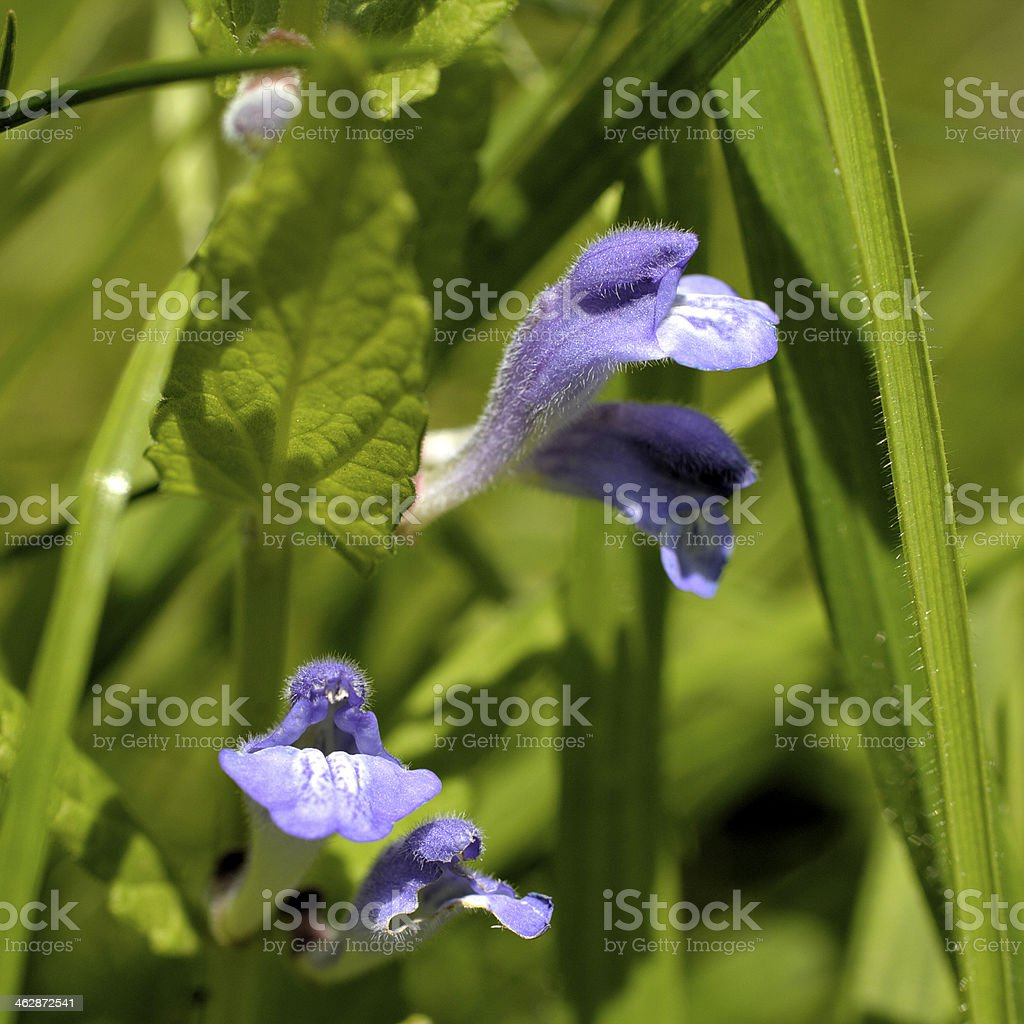 Skullcap Scutellaria galericulata purple flowers in pairs stock photo