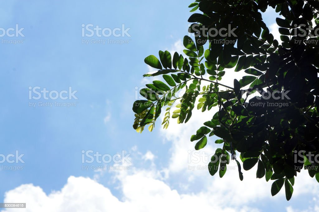 The blue sky with clouds against green leaves and sun light, Spring or Summer Season, Abstract nature background. stock photo