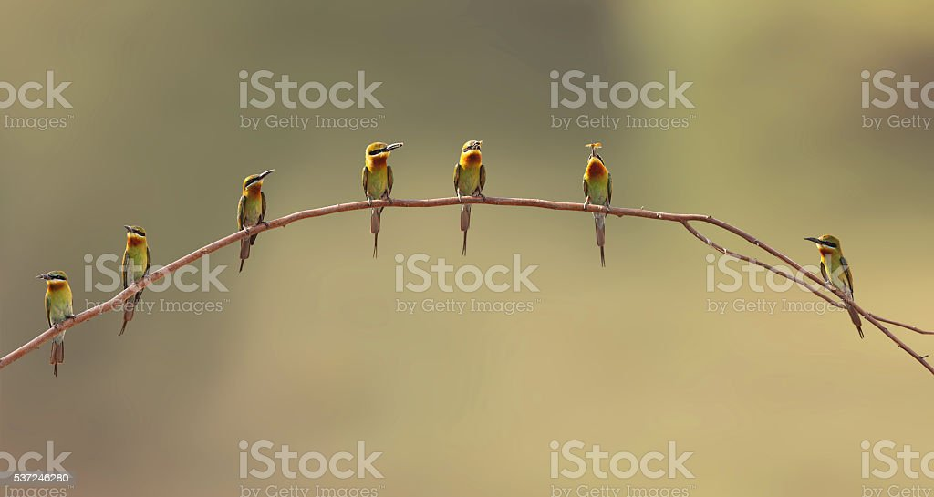 The blue tailed bee eaters family stock photo