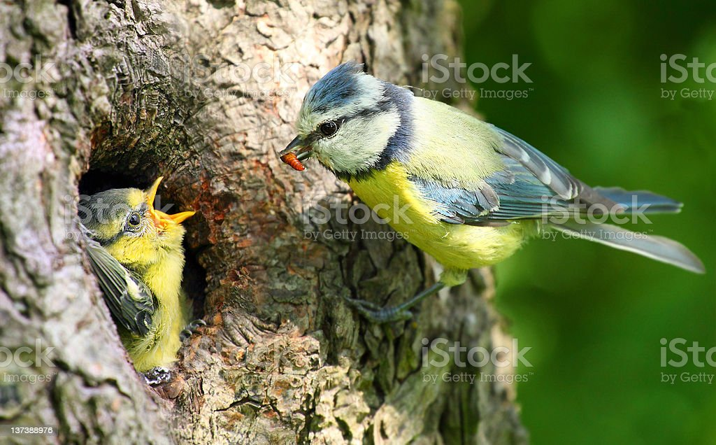 The Blue Tit (Cyanistes caeruleus). stock photo