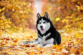 The blue-eyed Siberian Husky