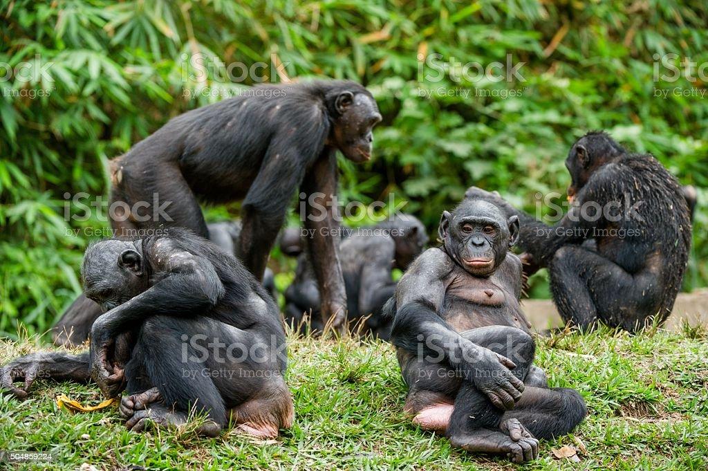 The Bonobo family stock photo